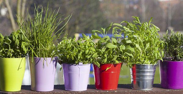 Herbes aromatiques, les reines du potager urbain