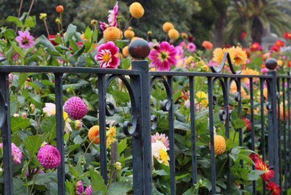 Des petits dahlias pour les petits jardins!