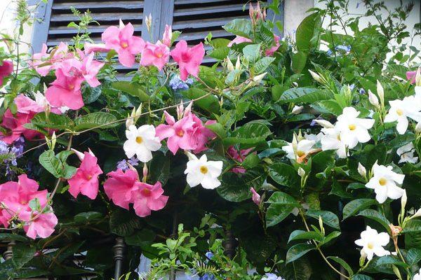 Fleurs en pots pour balcon et terrasse