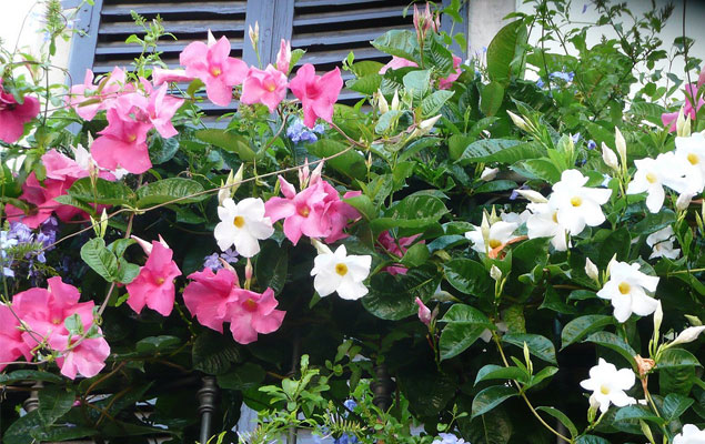 Fleurs en pots pour balcon et terrasse , My Little Jardin
