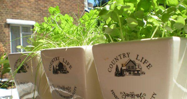 3 plantes aromatiques faciles à cultiver en pots