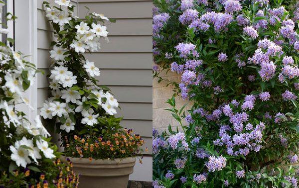 2 plantes grimpantes faciles à vivre