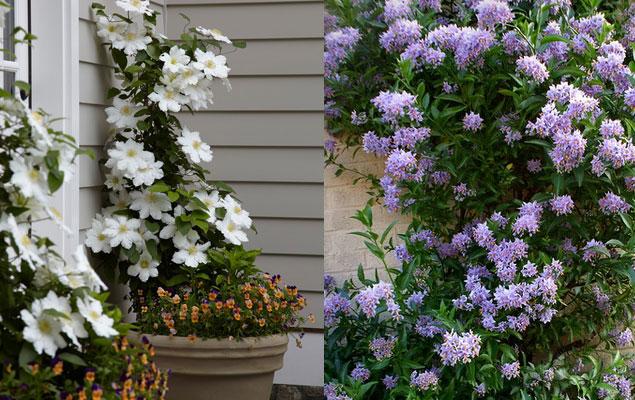 2 Plantes Grimpantes Faciles A Vivre My Little Jardin