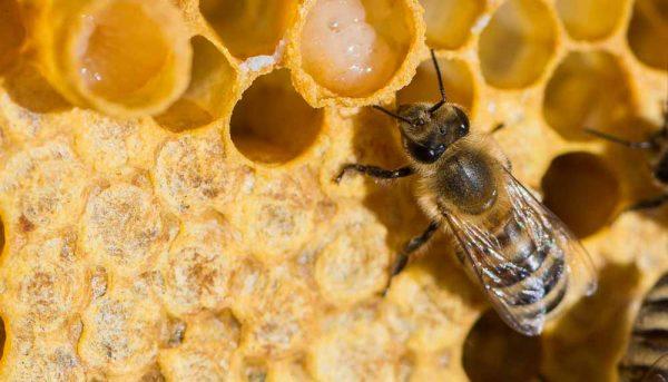 La gelée royale : le trésor de votre ruche !