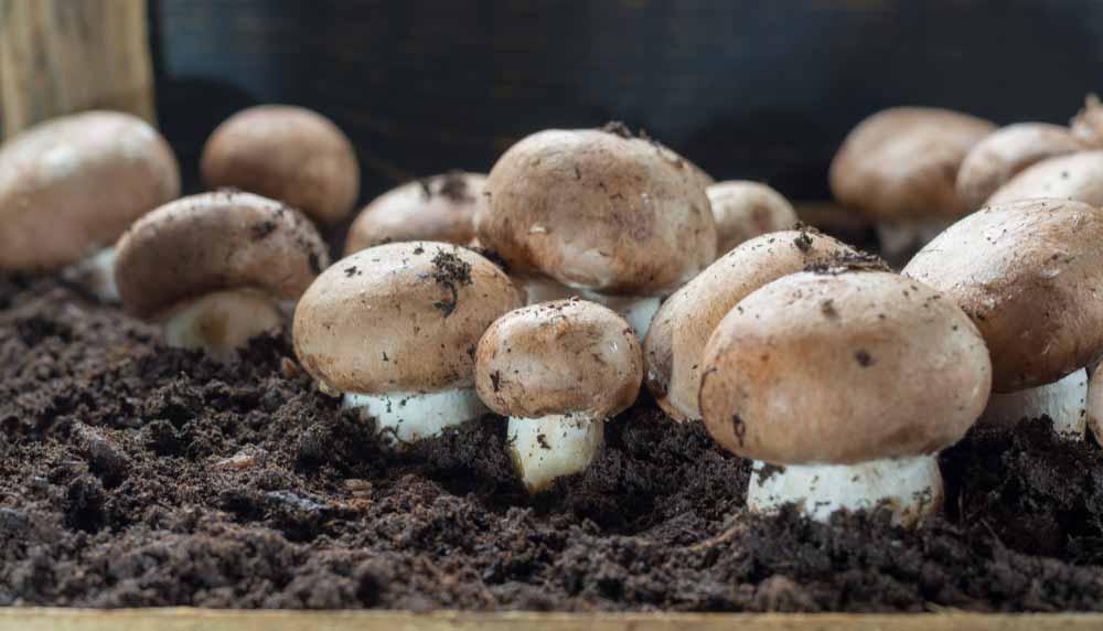 Comment faire pousser des champignons ? Cultiver soi-même