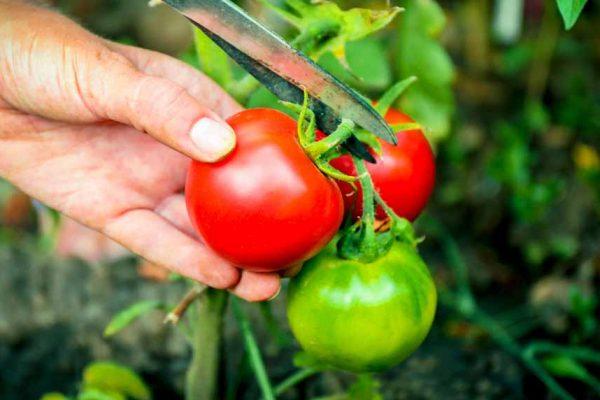 5 conseils pour cultiver vos tomates