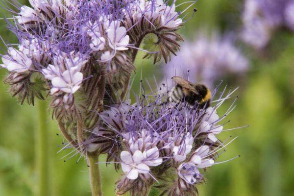 La phacélie: une culture utile au jardin
