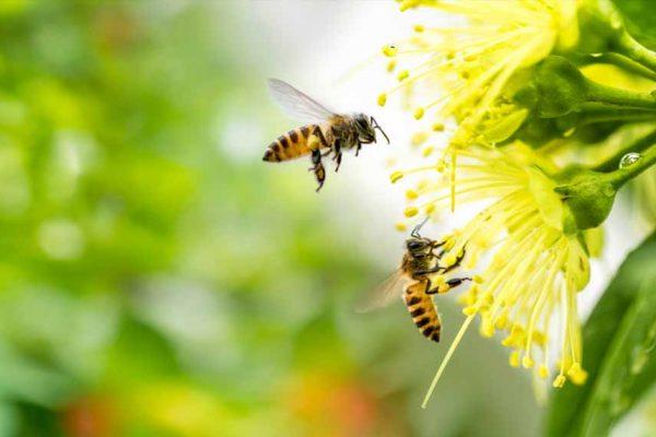 Des plantes pour attirer les abeilles dans votre jardin