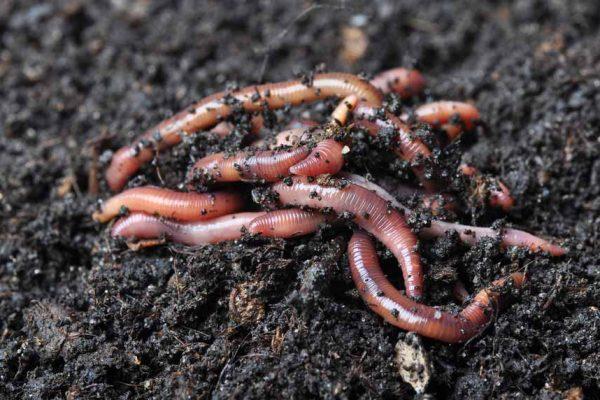 Préservez les vers de terre de votre jardin