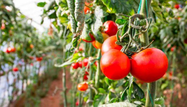 Quand et comment planter les tomates ?