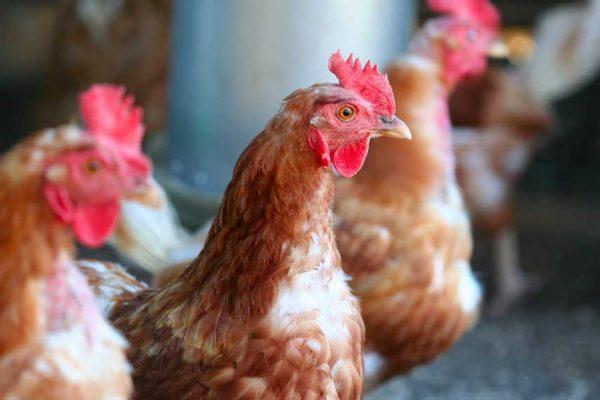Comment et pourquoi élever des poules pondeuses ?