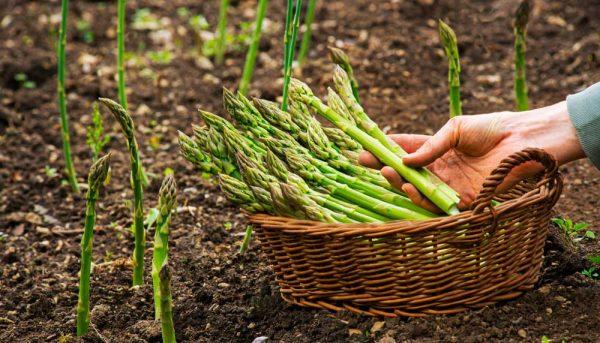 Réussir la culture de l'asperge : nos conseils